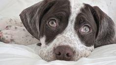 Braque du Bourbonnais You Smile, Braque Du Bourbonnais, Cute Puppies, Dogs And Puppies, Rare Dogs, Dog Breeds List, Dog Furniture, German Shorthaired Pointer, Dog Names