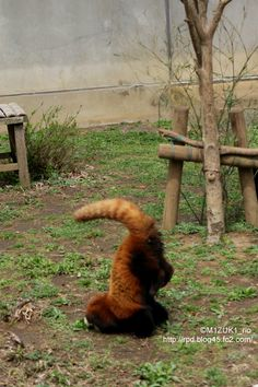 Red Panda face plant...