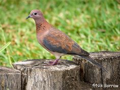 Laughing Dove, Sub-Saharan Africa & Middle East