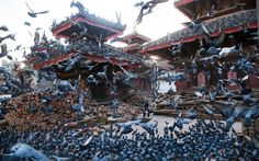 A man feeds the pigeons among the rubble in Durbar Square after it was damaged during the April 25 earthquake in Kathmandu, Nepal
