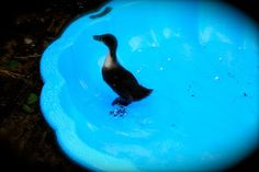 This is one of our baby ducks in the summer - having a bath. She's now nearly full grown and lovely!