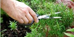 sniffing-rosemary-can-increase-memory-by-75-600x308.jpg