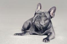 Blue Frenchie, French Bulldog