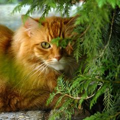 im not a cat person but this looks like my old cat Pumpkin, he was the only cat I will ever like.