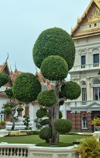 "Clipped ""cloud' formation tree in front of the grand palace in Bangkok, Thailand"