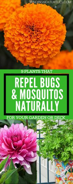 9 Plants That Repel Bugs Naturally Repel Bugs using plants the natural way. As we approach the hot Summer days, we need to stay safe and repel bugs while outdoors. Use plants that repel bugs. Organic Plants, Organic Vegetables, Organic Gardening, Vegetable Gardening, Grow Organic, Organic Fruit, Patio Plants, Outdoor Plants, House Plants