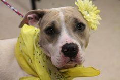 NAME: Jolene  ANIMAL ID: 24734825  BREED: Pit  SEX: female  EST. AGE: 1 yr  Est Weight: 45 lbs  Health: heartworm neg- stiches on face- repaired laceration  Temperament: dog friendly, people friendly.  ADDITIONAL INFO: RESCUE PULL FEE: $49