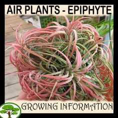 Tillandsia ionantha rubra - How to grow & care Epiphyte, Air Plant Display, Spider Plants, Gnome Garden, Season Colors, Air Plants, Herbs, Herb, Spice