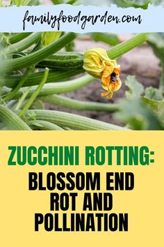 Sharing with you facts about zucchini rotting. Zucchini tends to be an easy vegetable to grow, however, there are some problems that can arise and lead to zucchini end rot. Check this pin for full details! #zucchinirot #zucchini #vegetable Healthy Fruits And Vegetables, Easy Vegetables To Grow, Organic Vegetables, Zucchini Vegetable, Beef Recipes, Cooking Recipes, Container Gardening, Vegetable Gardening, Kitchen Recipes