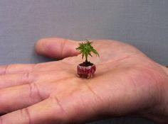 """Micro tree. Is this a Japanese maple? It's from a facebook posting by Bonsai Guest House."""