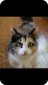 Island Park, NY - Domestic Longhair. Meet Cleo, a cat for adoption…