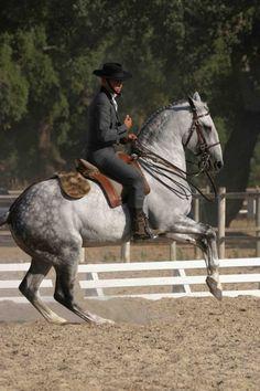 Grey Lusitano stallion Oxidado in Portugal