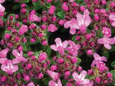 Thyme, Bressingham Pink or Thymus doerfler has attractive foliage, with flowers that are long lasting. It is drought tolerant, and one of the most useful herbs for the kitchen. Suitable for planting in rock or herb garden or border.