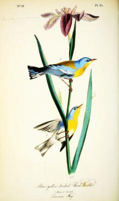 aves de america audubon