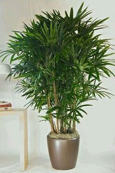 Houseplants Safe For Cats Bamboo Palm Herbal Medicine