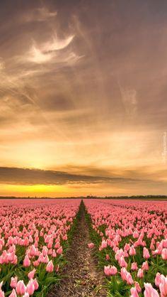 Plantacja tulipanów - Tapeta na telefon Pink Nature, Barbados, Celestial, Sunset, Outdoor, Art, Outdoors, Sunsets, Outdoor Games
