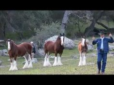 Budweiser Clydesdale's journey to the Super Bowl.