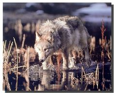 Stunning! This stunning wall art poster will be the focal point of your room. This beautiful poster captures the image of gray wolf hunts in water which is sure to bring wildlife feel to your space and add new charm. This poster is sure to mesmerize you and your guests. It would be a ideal gift for every wildlife nature lover. This poster is made up of using high quality gloss finish paper with archival quality ink which ensures long lasting beauty of the product.