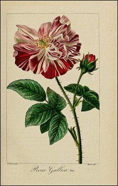 Rosa gallica 'Versicolor' | aka Rosa mundi. (1817-1827) [P. Bessa]