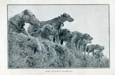 "Found in WWI Army dogs in Edwin Richardson's book ""Forty years with Dogs"". The photo was very small but the dogs so beautiful, and I was sad about the type of work we asked them to do for us. Many families gave up their (then popular) Airedale for the war effort. Richardson worked with the dogs, training them by only offering food during gunfire, artillery noise. Many dogs learned to disregard the gunfire in order to eat, & those went on to be Soldiers or ""weapons"" as the army classified the"