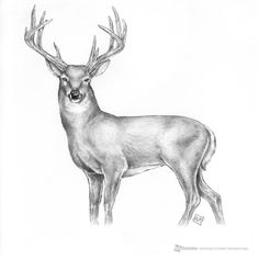 deer drawing drawings easy animal buck sketches pencil sketch dessin cave stag animaux dessins coloriage tattoo inspiration