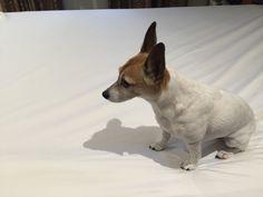 Phoebe Jack Russell Terrier | Pawshake
