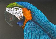 Macaw 1 Dottie D.