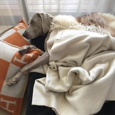 Rugging up for autumn  Let sleeping Otis lie  @davidnovakpiper #weimaraner #weimaranersofinstagram #weimlove ❤️ #hermes