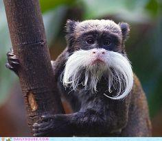 I Mustache You A Question: Emperor Tamarin