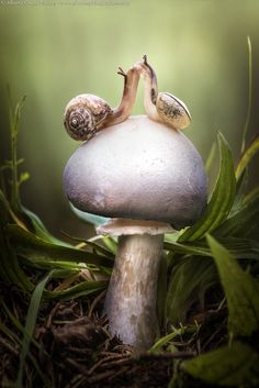 Mushroom of Love • two snails seem to kiss on a mushroom, Viadana, Italy • by Alberto Ghizzi Panizza