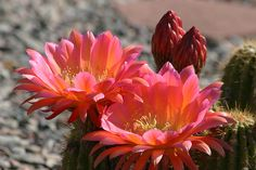 Beautiful cactus flower(Unsure of species)