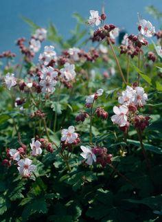 Geranium macrorrhizum 'Spessart' (Ooievaarsbek) mooie, niet woekerende, sterke bodembedekker, blad hele seizoen aantrekkelijk