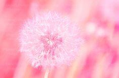 Мечтательный Одуванчик печати {девочка розовый Персик Коралл большой цветок искусства стены искусства холст картины фото фотографии детские ребенка детские Декор}