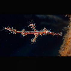 #ornate #ghost #pipefish #Tulamben #Bali #indonesia #macro #uw #underwaterpics #underwaterphotography #fish #marinebio101 #padi #scuba #dive #libertywreck by fdenton