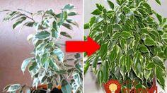 Záhradkárka mi dala neuveriteľne účinný trik, ktorým môžete zachrániť aj vaše izbovky: Mne to veľmi pomohlo!