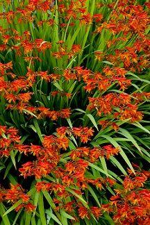 Flowers in zone 7 | Full Sun Perennial Flowers Zone 7