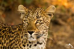Young Leopard, Sabi sands Reserve, South Africa by ₪ Mathieu Pierre photography Kittens Cutest, Cats And Kittens, Predator, Big Cats, South Africa, Cute Animals, Wildlife, Kitty, Sands