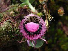 Caucaea cucullata orchid so weird but beautiful