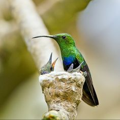 The Green-throated Carib (Eulampis holosericeus) is a species of hummingbird found throughout the Caribbean region. It is found in Anguilla, Antigua and Barbuda, Barbados, Dominica, Grenada, Guadeloupe, Martinique, Montserrat, north-east Puerto Rico, Saba, Saint-Barthélemy, Saint Kitts and Nevis, Saint Lucia, Saint Martin, Saint Vincent and the Grenadines, Sint Eustatius, the British Virgin Islands and the U.S. Virgin Islands.