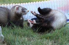 "46 Likes, 1 Comments -  Amanda P   Ferret Momma (@canadianferrets) on Instagram: ""#ferret #ferrets #ferretfun #ferretism #ferretlove #ferretdance #ferretbabies #furrychildren…"""