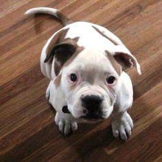 American Bulldog - full attention