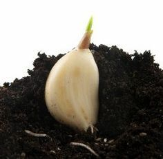 Growing Garlic Indoors is Not as Difficult as You Thought This is one of the best guides to growing garlic in containers that I have found.This is one of the best guides to growing garlic in containers that I have found. Growing Veggies, Growing Herbs, Container Gardening, Gardening Tips, Indoor Gardening, Organic Gardening, Gardening Quotes, Plantas Bonsai, Pot Jardin