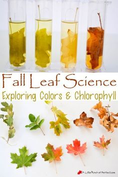 Laugh and Learn Linkup for Parents or Homeschool Easy Fall Leaf Science Experiment Exploring Colors and Chlorophyll Kid Science, Teaching Science, Summer Science, Science Nature, Physical Science, Science Education, Fall Preschool Science, Preschool Fall Theme, Science Chemistry