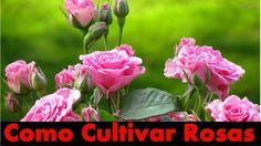 Mondini Plantas: Como cultivar rosas