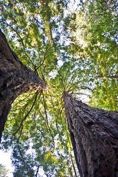 light running through redwoods