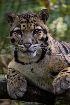 """ Clouded Leopard by Jasper Gielen"