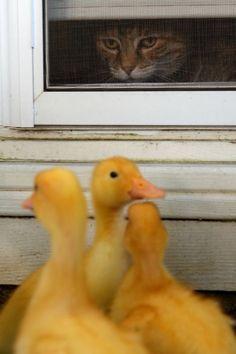 Photo viaCat n Day. #cats #ducks