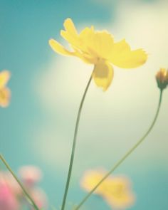 Dreamy Flower Photography - 8x10 Fine Art Photography, Dreamy Summer Day, shabby chic photo, pastel, yellow, nature photography, summer on Etsy, $30.00