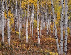 Fall-colored grove of quaking aspen (Populus tremuloides), near Ohio Pass, West Elk Mountains, Gunnison National Forest, Colorado, USA --- (4x5 inch original, File size: 6078x4800, 83.5mb uncompressed.