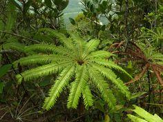 Unusual Ferns   Matonia foxworthyi   Ferns and Lycophytes of the World